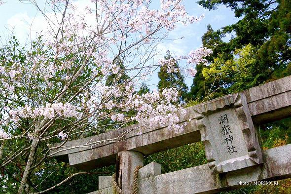 潮嶽神社 鳥居と桜