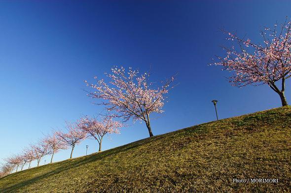 宮崎市清武総合運動公園の河津桜