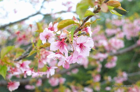 「河津桜」