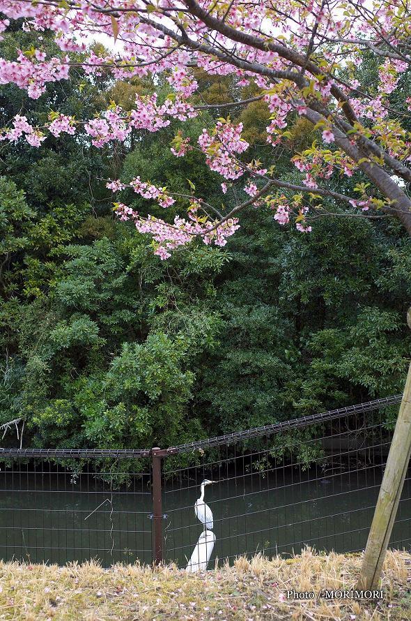 河津桜と白サギ