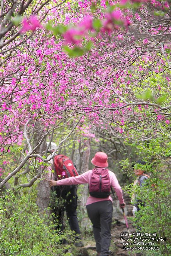 新湯温泉〜新燃岳登山道のミツバツツジのトンネル