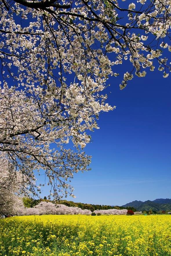 西都原古墳群の菜の花と桜