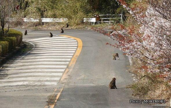 堀切峠付近で見かける 猿の群れ