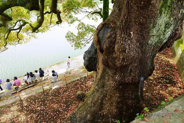 境内の楠(クスノキ)