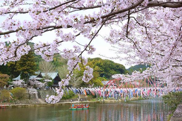 川上峡のこいのぼりと桜