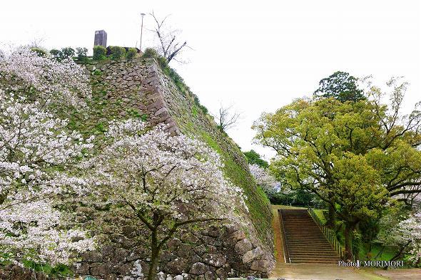延岡市 城山 千人殺しの石垣と桜