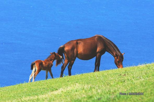 都井岬 国の天然記念物指定「岬馬」