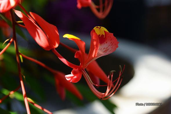 ヨウラクボクの花