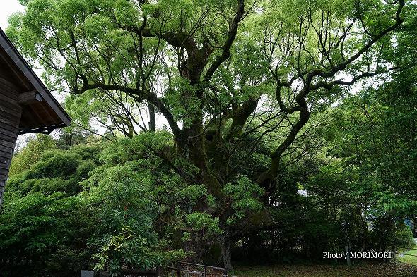 八幡クス(清武の大クス)新緑