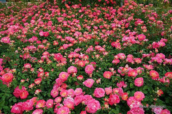 こどものくに バラ園のバラ 2