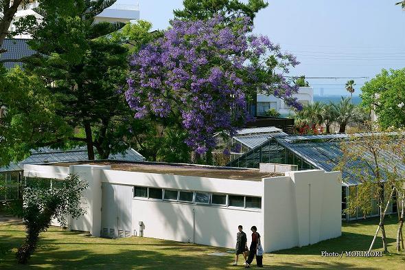ジャカランダ 県立青島亜熱帯植物園(愛称 宮交ボタニックガーデン青島)