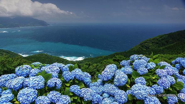 都井岬のアジサイ
