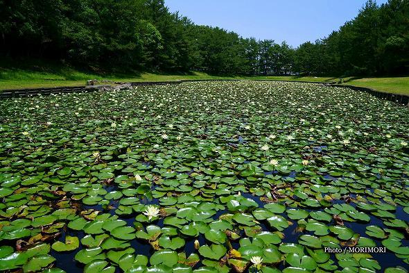 宮崎市 市民の森 みそぎ池のスイレン