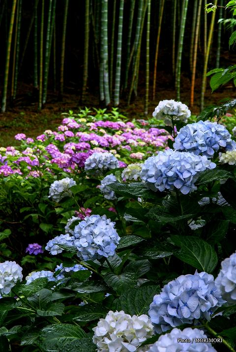 宮崎市 天神山公園のアジサイ(過去に撮影したもの)
