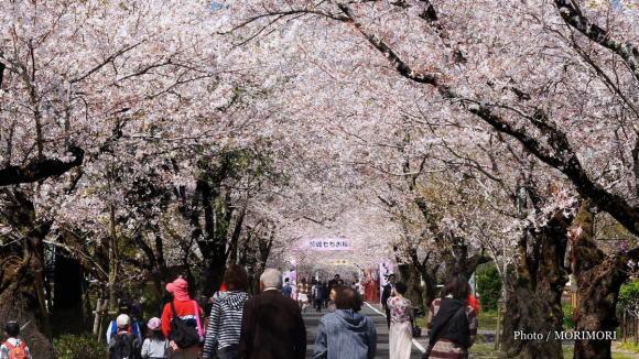母智丘(もちお)の2キロにおよぶ桜並木