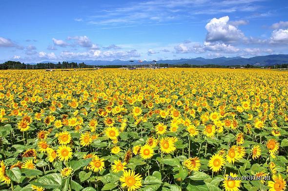 日本最大のひまわり畑(高鍋町)