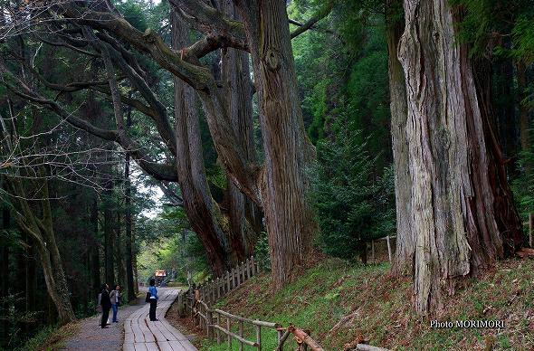 熊本県 弊立神宮の森 五百枝杉(いおえすぎ)