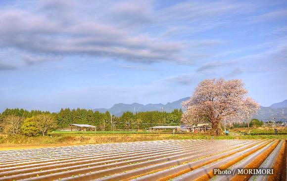 大坪の一本桜 01 絵画風エフェクト