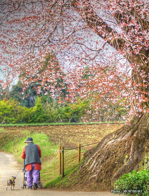 大坪の一本桜 03 絵画風エフェクト