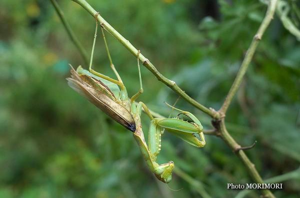 緑色茶色混合色のカマキリ