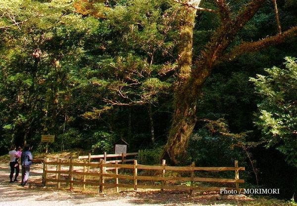 イロハモミジの巨木 日南市北郷町槻之河内(つきのかわち)
