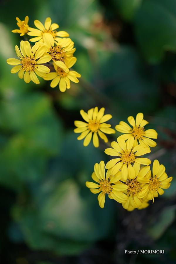 青島 ツワブキの花