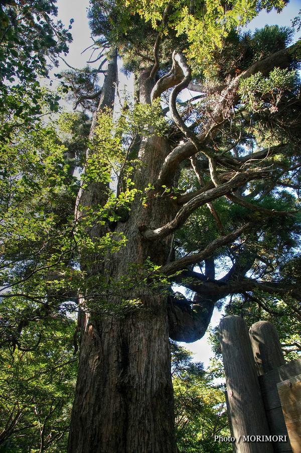 六観音御池の巨木スギ