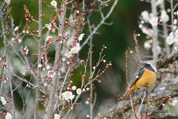 梅の花とジョウビタキ