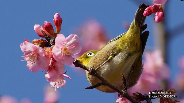 桜(日南寒咲一号)とメジロ