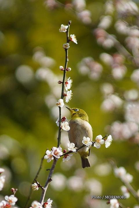 安井息軒 旧宅 梅の花とメジロ