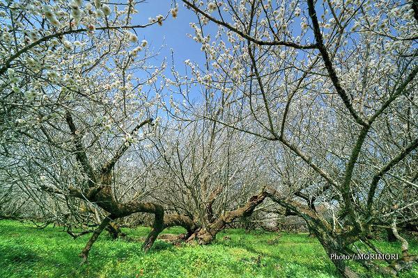月知梅公園の梅