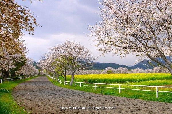 綾町 馬事公苑の桜
