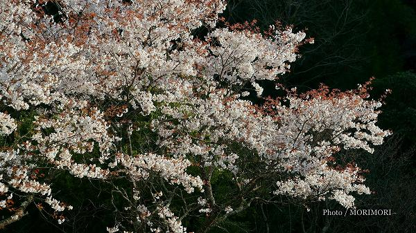 堀切峠の山桜(ヤマザクラ)