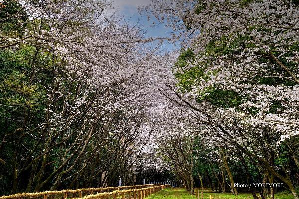 宮崎神宮 流鏑(やぶさめ)馬場の桜