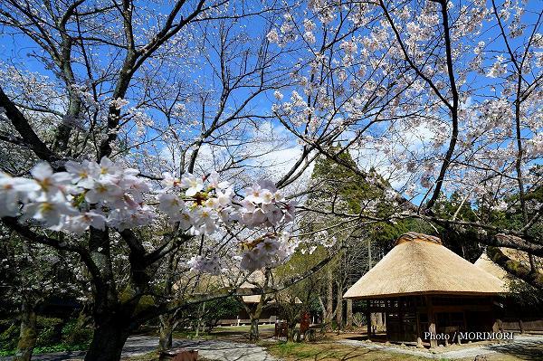 県総合博物館 民家園の桜