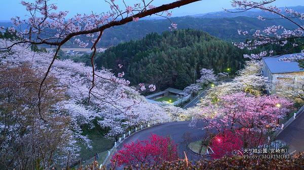 天ケ城公園の夜桜 1