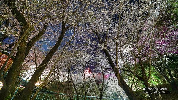 天ケ城公園の夜桜 6