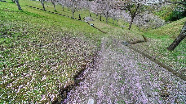 清武総合運動公園の桜