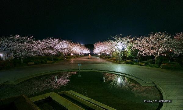 宮崎市 久峰総合公園の夜桜