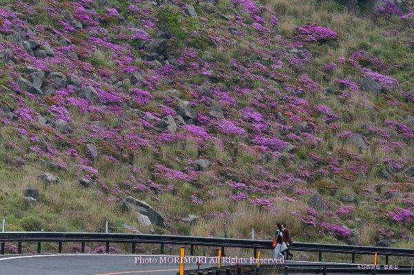 硫黄山斜面に咲くミヤマキリシマ