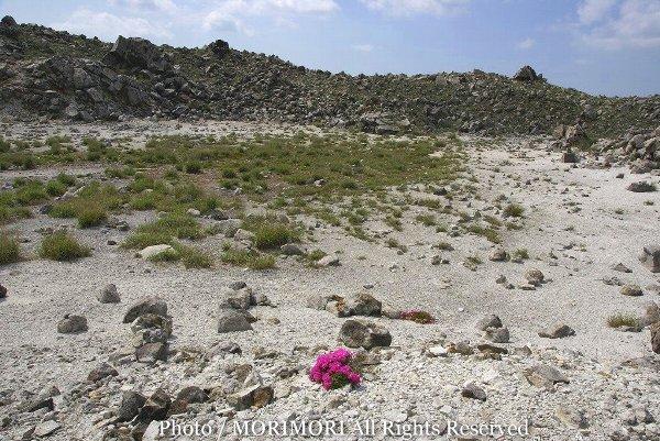 硫黄山火口内に咲いていたミヤマキリシマ