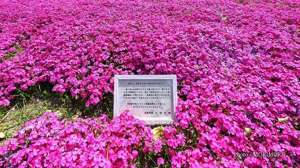 新富町 日向新富駅前に咲くシバザクラ