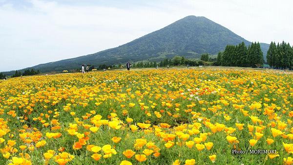 生駒高原 カルフォルニアポピー