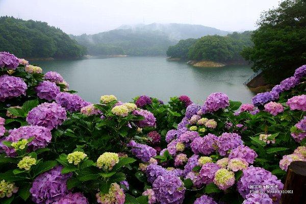 籾木池のアジサイ(国富町)