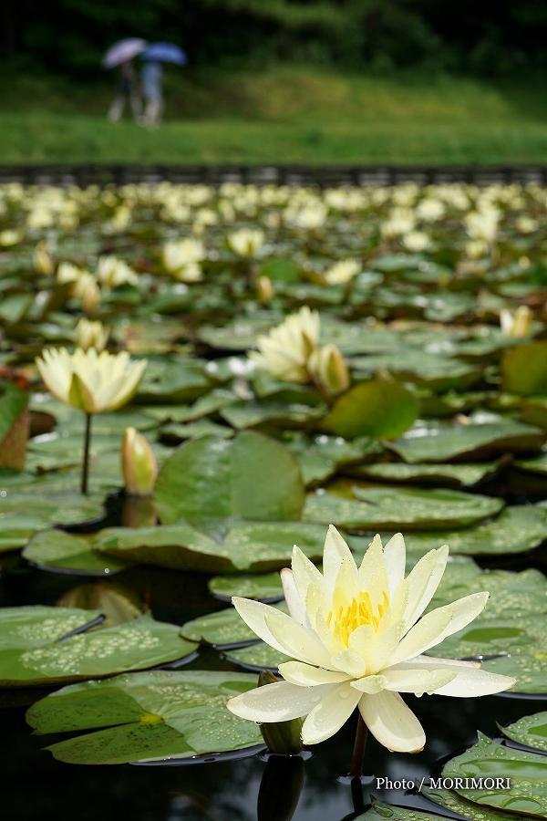 みそぎ池のスイレン