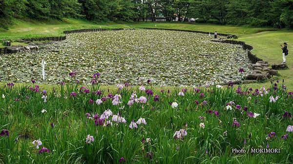 みそぎ池のスイレンとハナショウブ