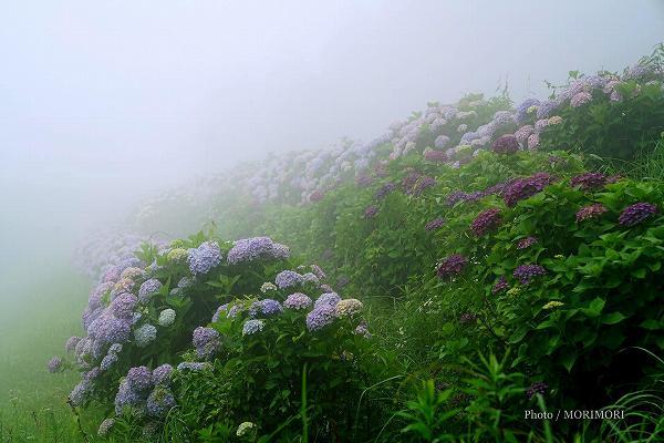 荒平山森林公園のアジサイ 1