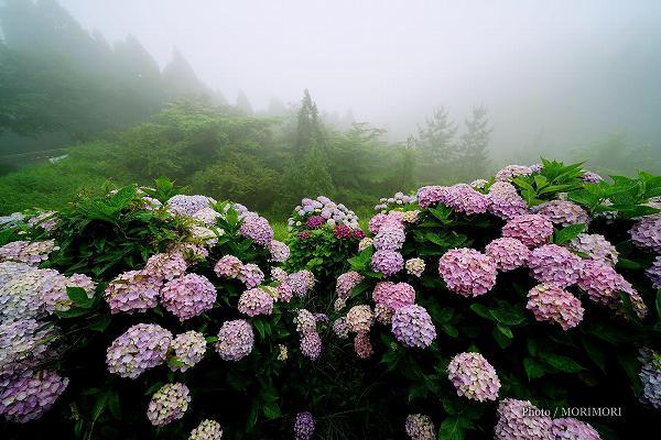 荒平山森林公園のアジサイ 2