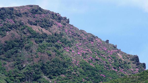 韓国岳のミヤマキリシマ