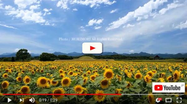 西都原古墳群のヒマワリ タイムラプス動画